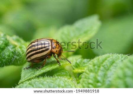 Colorado potato beetles in potato leaves.Colorado beetle, potato parasite. Close-up colorado potato beetle, Decemlineata, potatoes parasites, leptinotarsa, potatoes beetles. Foto stock ©