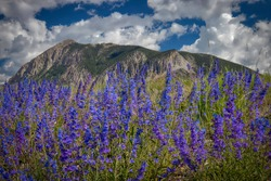 Colorado Rocky Mountain Wildflowers in bloom
