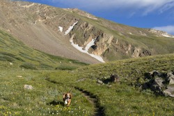 Colorado's Rocky Mountains at the continental divide, Guanella pass near Georgetown - Basset hound enjoys being off-leash.