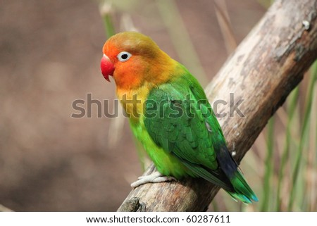 Colored bird agapornis-fischeri alone and standing on a branch