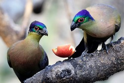 colored bird couple sharing an apple