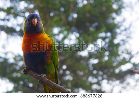 Colored bird of the parrot family  - Rainbow lorikeet - Shutterstock ID 688677628
