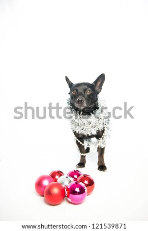 Colored christmas ball shot with dog in studio on white background