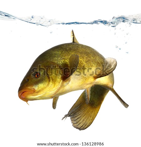 colored fish swimming free carp tench