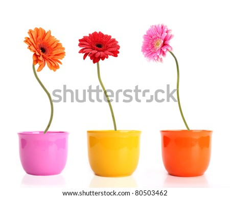 Colored gerber flowers isolated on white background