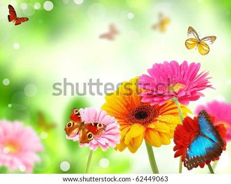 Stock Photo colored gerberas flowers with exotic butterflies