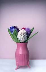 Colored Hyacinths in a pink cute vase to welcome Spring. Pink background.