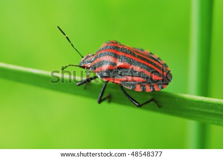 Colored in red and black striped bug creeping along the green grass