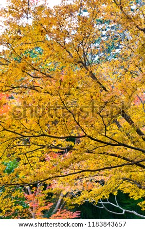 Colored leaves of Ginkaku-ji Temple. Jisho-ji Temple is known for a name of Ginkaku-ji Temple. Jisho-ji Temple is in Kyoto, Japan. #1183843657