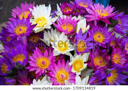 Colored lotus flowers full bloom with white color, pink color and purple color