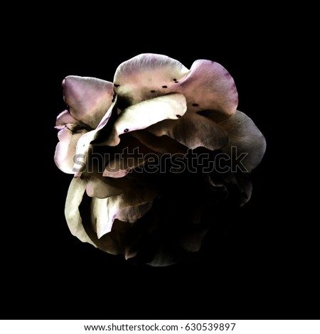 Colored Rose on Black Background