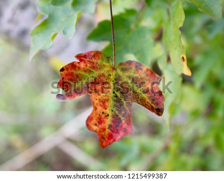 Colored sycamore leaf #1215499387