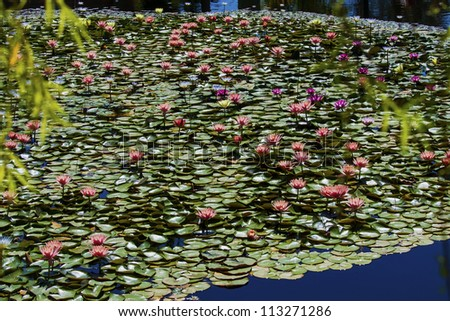 colored water lily  floating leafe's in a pond