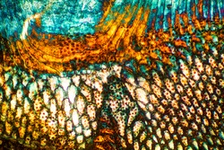 Colorful, abstract micrograph of a fish scale, calico bass,Paralabrax clathratus, with polarization at 40x.