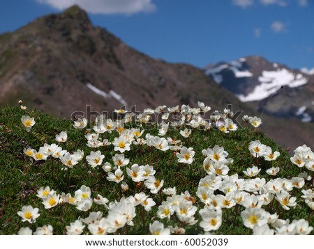 colorful alpine flowers on the mountain slopes