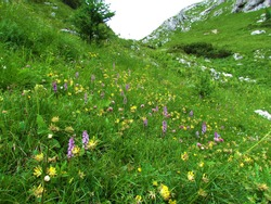 Colorful alpine meadow with yellow common kidney vetch and pink fragrant orchid or marsh fragrant orchid in Julian alps and Triglav national park, Slovenia