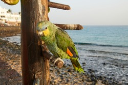 Colorful Amazon Parrot with orange wingtips sitting on a log in front of water at Playa Blanca, Lanzarote, Spain
