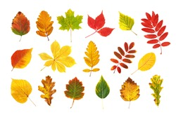 Colorful and bright autumn leaves collection isolated at white background. Foliage herbarium set. Leaf patterns.