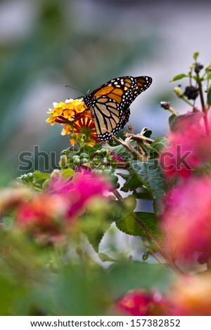 Colorful and splendid monarch butterfly sucking the juices of flowers