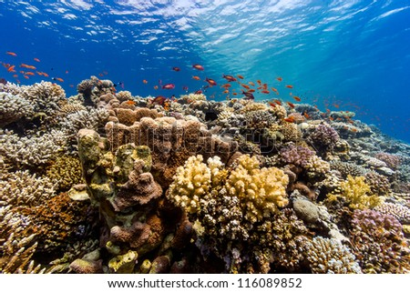 Colorful and vibrant hard corals on a tropical coral reef in the Red Sea