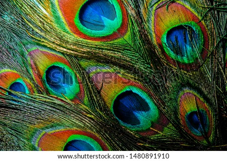 Colorful and Vibrant Peacock Feathers