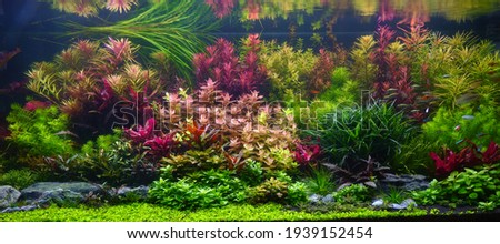 Colorful aquatic plants in aquarium tank with Dutch style aquascaping layout