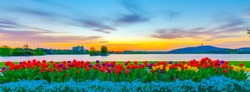 Colorful arrangement display of tulips, flowers, blooms and blossoms at Lake Burley Griffin in Canberra, the Capital City of Australia