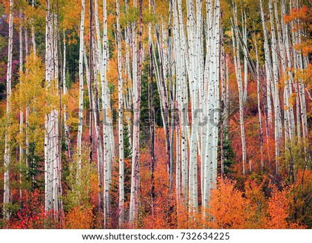 Colorful aspen autumn background in the Utah mountains, USA.