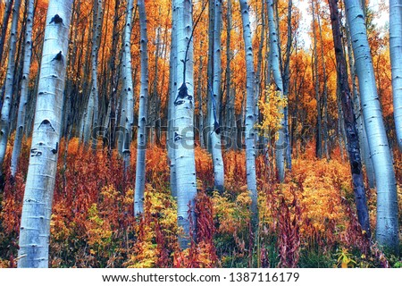 Photo of  Colorful aspen forest with yellow, gold, and red leaves on a rainy fall day near the Maroon Bells outside of Aspen, CO.
