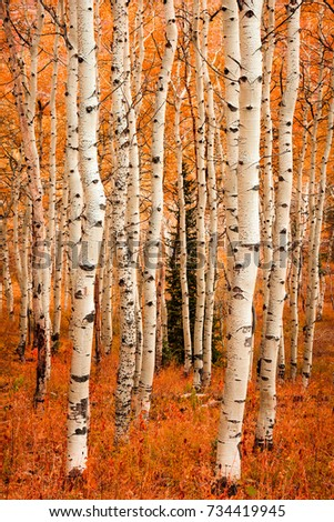Colorful aspen glade in the Utah mountains, USA.