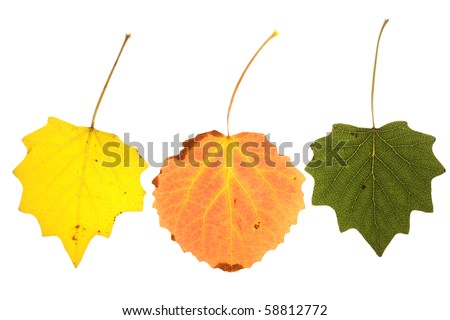 colorful aspen leaves on isolated  Image ID