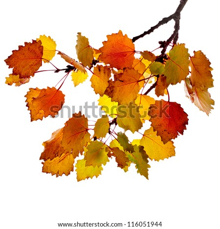 colorful  autumn aspen tree branch  isolated on white background