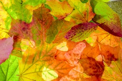 colorful autumn background. red, green and orange autumn leaves.