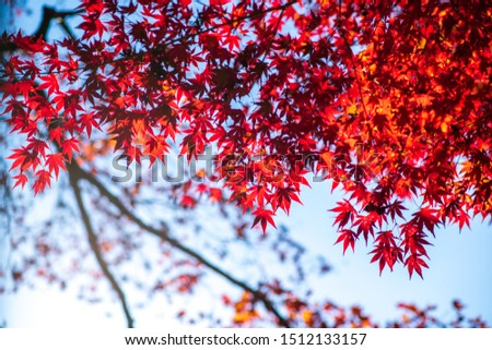 Colorful autumn color in Japan. Maple & ginkgo tree change their leaves color to yellow and red. Concept for autumn and foliage background.