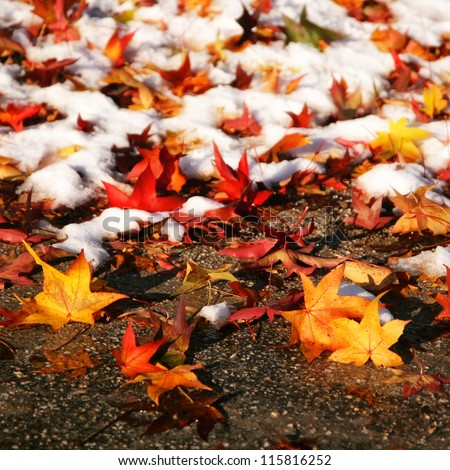 Colorful autumn leaves in the first snow.