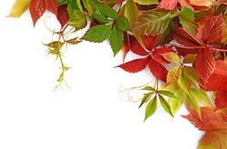 Colorful autumn leaves of Virginia creeper (Parthenocissus quinquefolia) isolated on white background