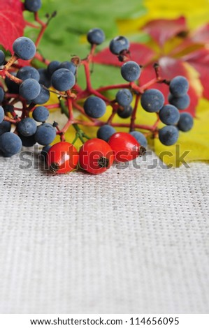 colorful autumn leaves, rose hips and wild grape closeup. Small shallow dof