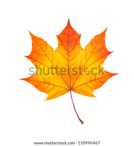 colorful autumn maple leaf isolated on white background #150996467