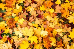 Colorful autumn maple leaves in orange yellow and brown color. Fallen leaves on forest floor in autumn season background texture.