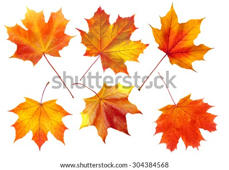 colorful autumn maple leaves isolated on white background #304384568