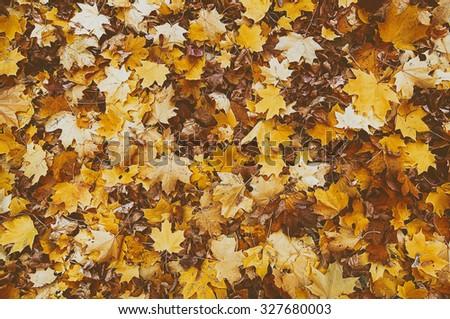 colorful autumn maple leaves....