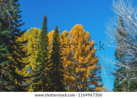 Colorful autumn scene in a close up that includes trees of three different colors: yellow, light green and dark green #1164967306