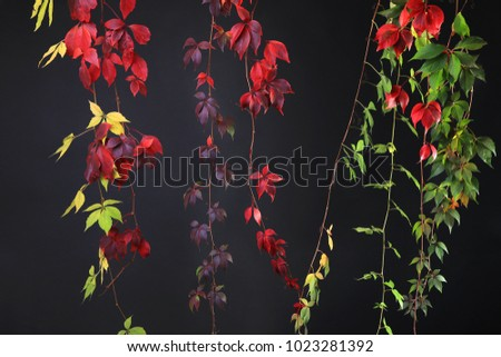 Colorful Autumn Tree Vines stretching down black background, studio image