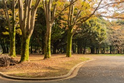 Colorful autumn trees overgrown with moss in Yoyogi Park in autumn during sunset. Tokyo, Japan