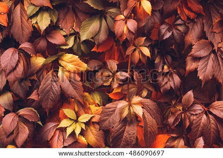 Colorful Autumn Virginia Creeper, Wild Grape Background. Abstract Purple, Red and Orange Autumn Leaves Background. Purple Leaves Creeper Plant On A Wall #486090697