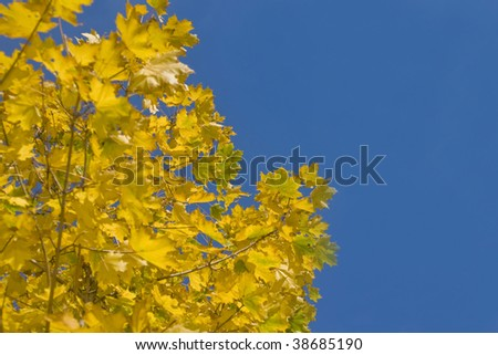 Colorful autumn - yellow leaves of maple tree and blue sky #38685190