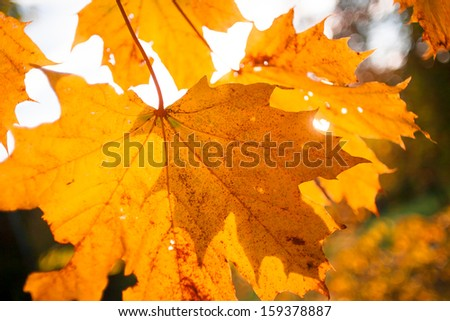 Colorful autumnal background with maple leaves