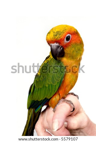Colorful baby parrot perched on a woman's finger. - stock photo
