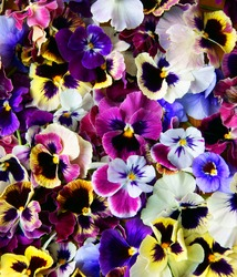 Colorful background from flower pansy.Background from flower