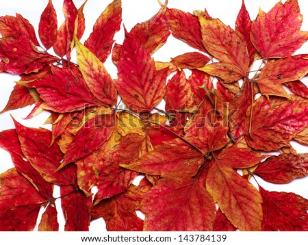 colorful background of red autumn leaves
